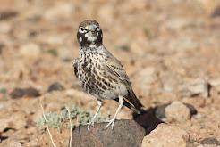 Thick billed Lark