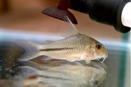Corydoras Baderi – çöpcü balığı