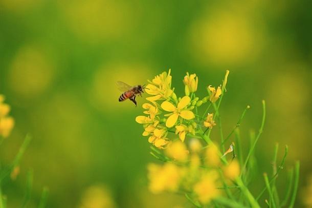 bal yapan arı, polen, arı