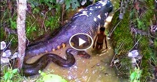 Anaconda Largest Snake
