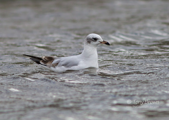 1st-Winter, Gull, Med Gull