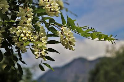 floraison d'un acacia