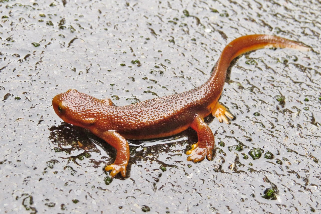 Amphibians: Rough skinned Newt in an alert, partially defensive posture