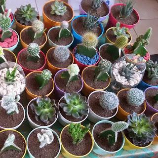 kaktus-dan-sukulen-murah.jpg