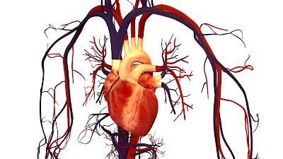 Gambar Jantung Manusia pada Sistem Peredaran Darah