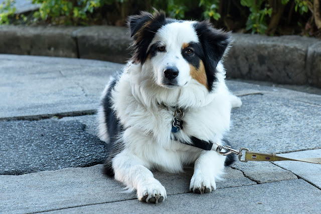 Australian shepherd, dog, thoughtful dog