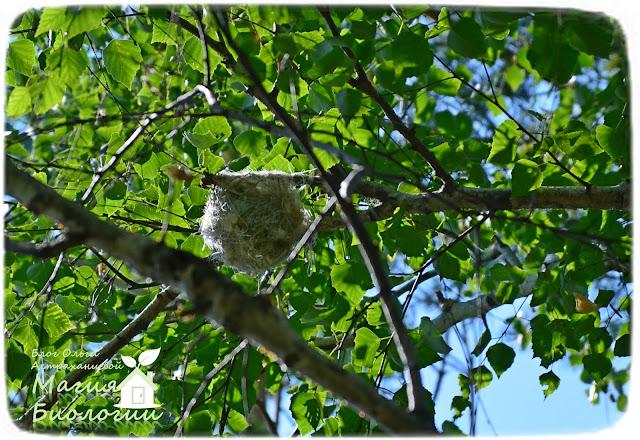 иволга-магия-биологии-гнездо