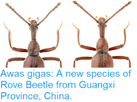 http://sciencythoughts.blogspot.co.uk/2015/10/awas-gigas-new-species-of-rove-beetle.html