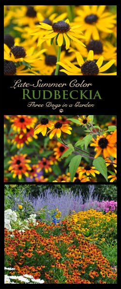 Lesser-Known Rudbeckia