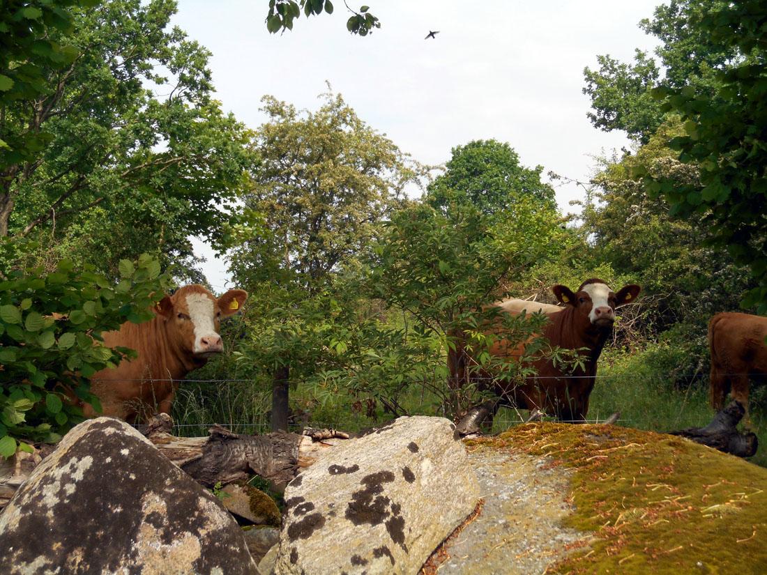 Mucche al pascolo dietro casa