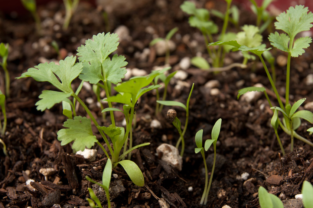 Cilantro (Chinese Parsley) ~ Adventures in Gardening ...