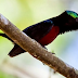 Download Suara Kolibri Ninja Gacor Durasi Panjang
