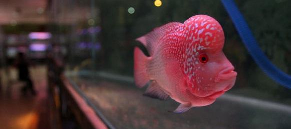 Budidaya Ikan Louhan - Budidaya Ikan