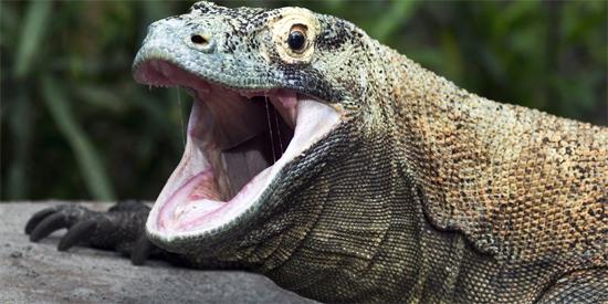 Dragão Komodo