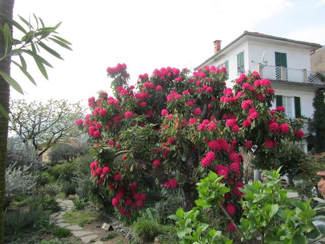 Fioritura Rododendro