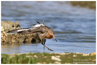 https://bioclicetphotos.blogspot.fr/search/label/Barge%20%C3%A0%20queue%20noire%20-%20Limosa%20limosa