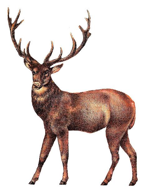 Antique Illustrations Animal Digital Clip Art Deer Stag