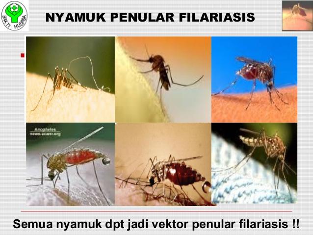 Semua nyamuk dapat menjadi vektor penularan penyakit kaki gajah