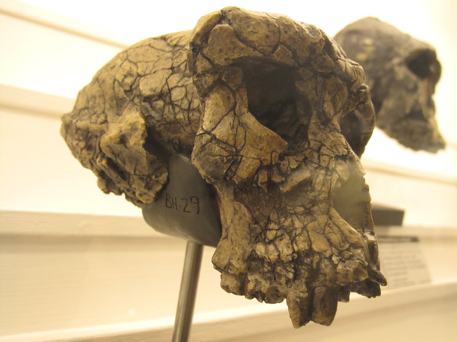 Homo erectus 1995 by joe damato - 5 9