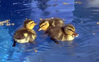 Como se llaman los patos bebes