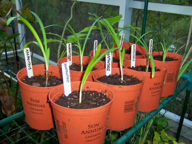 Agapanthus 'Headbourne Hybrid' seedlings