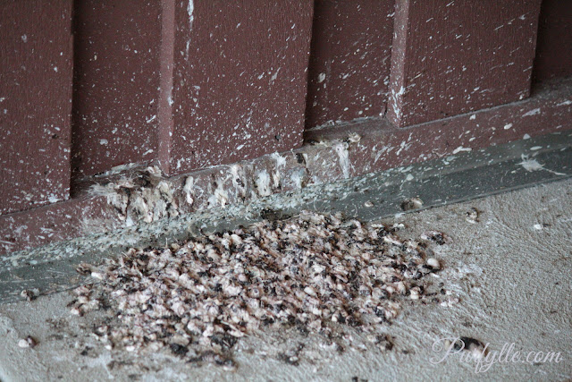 Droppings under the nest of a welcome swallow.