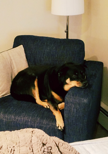image of Zelda the Black and Tan Mutt curled up adorably in a big easy chair
