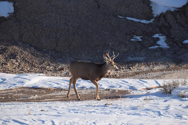 Badlands National Park, South Dakota, deer