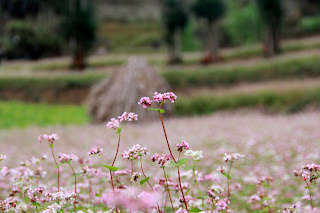 All you need to know before traveling to Ha Giang during buckwheat flower season 4