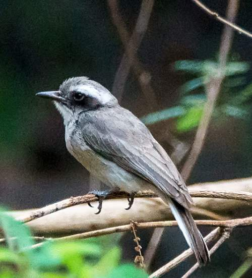 Indian birds - Image of Common woodshrike - Tephrodornis pondicerianus