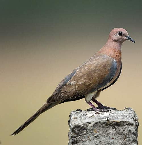 Indian birds - Picture of Laughing dove - Spilopelia senegalensis
