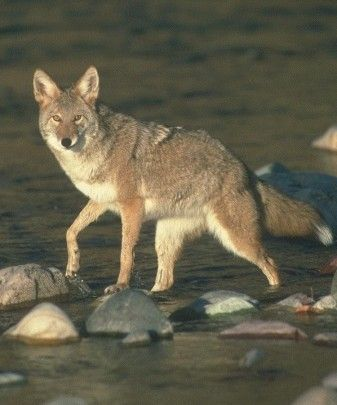 Abes Animals Japanese wolf pictures