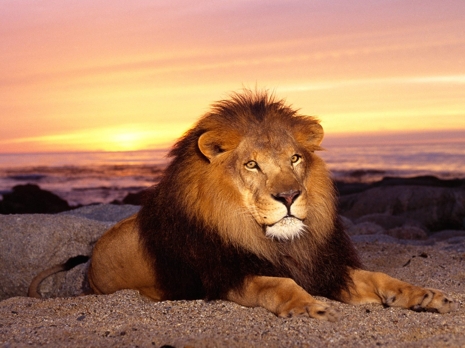 My Top Collection Lion Wallpaper