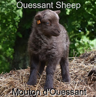 http://www.wovember.com/2016/11/10/the-ouessant-sheep-of-france/