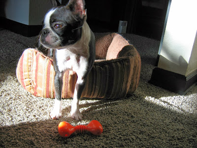 Sinead the Boston terrier in her dog bed