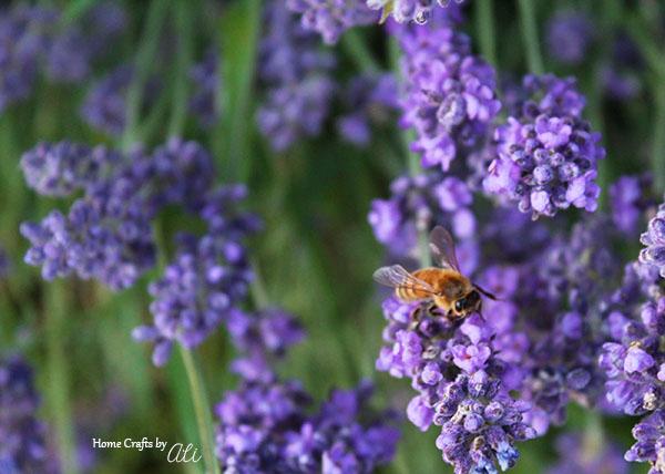 bee on lavender taken with 50mm lens