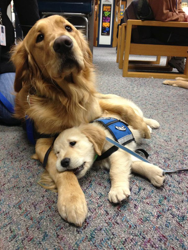 #4 Even The Comfort Puppy Needs Some Comfort - 10 Puppies On Their First Days Of Work That Will Make Your Day