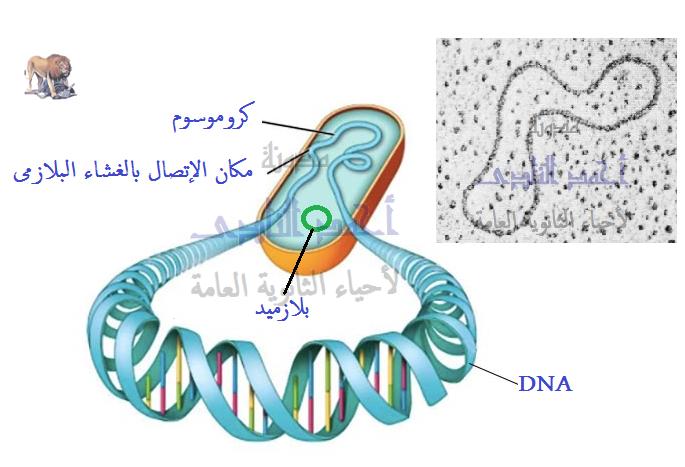 الحمض النووى ديؤكسى ريبوز dna فى أوليات النواة