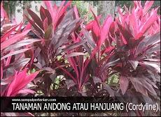 Manfaat daun andong atau hanjuang dan cara mengolah daun andong atau hanjuang menjadi obat tradisional