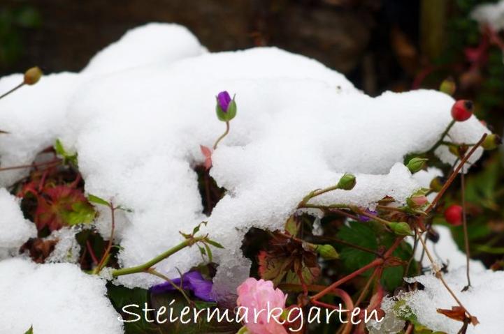 Knospen-im-Schnee-Steiermarkgarten