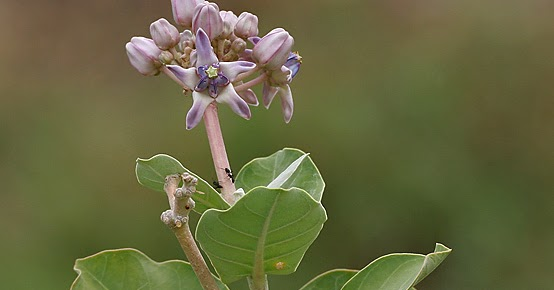 Herbal Plants Of Sri Lanka Wara Vara Calotropis Procer Crown Flower