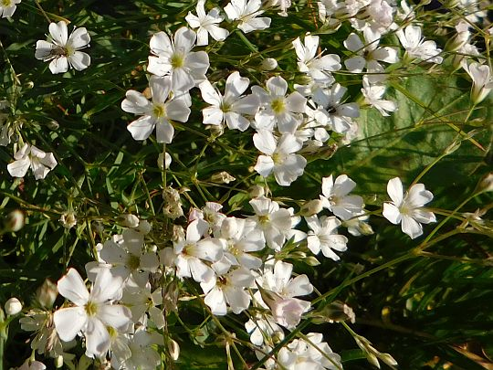 Piaskowiec orzęsiony (Arenaria ciliata).