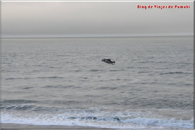 En Dyrhólaey es posible observar el vuelo de los frailecillos o puffins. Blog de Viajes a Islandia