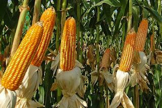 mısırın yararları