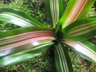 neoregelia iris