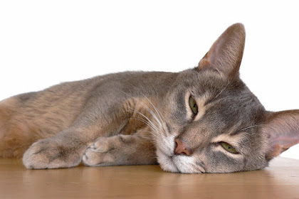 Mengatasi Daun Telinga Kucing Yang Bengkak Dan Memulihkan