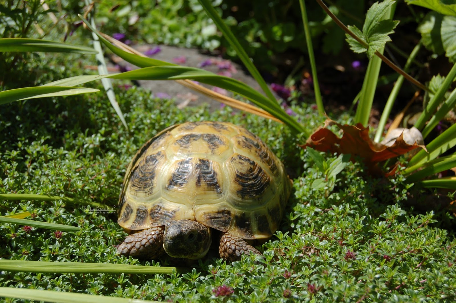 Tortaddiction: Why not to keep 2 tortoises together - a lesson