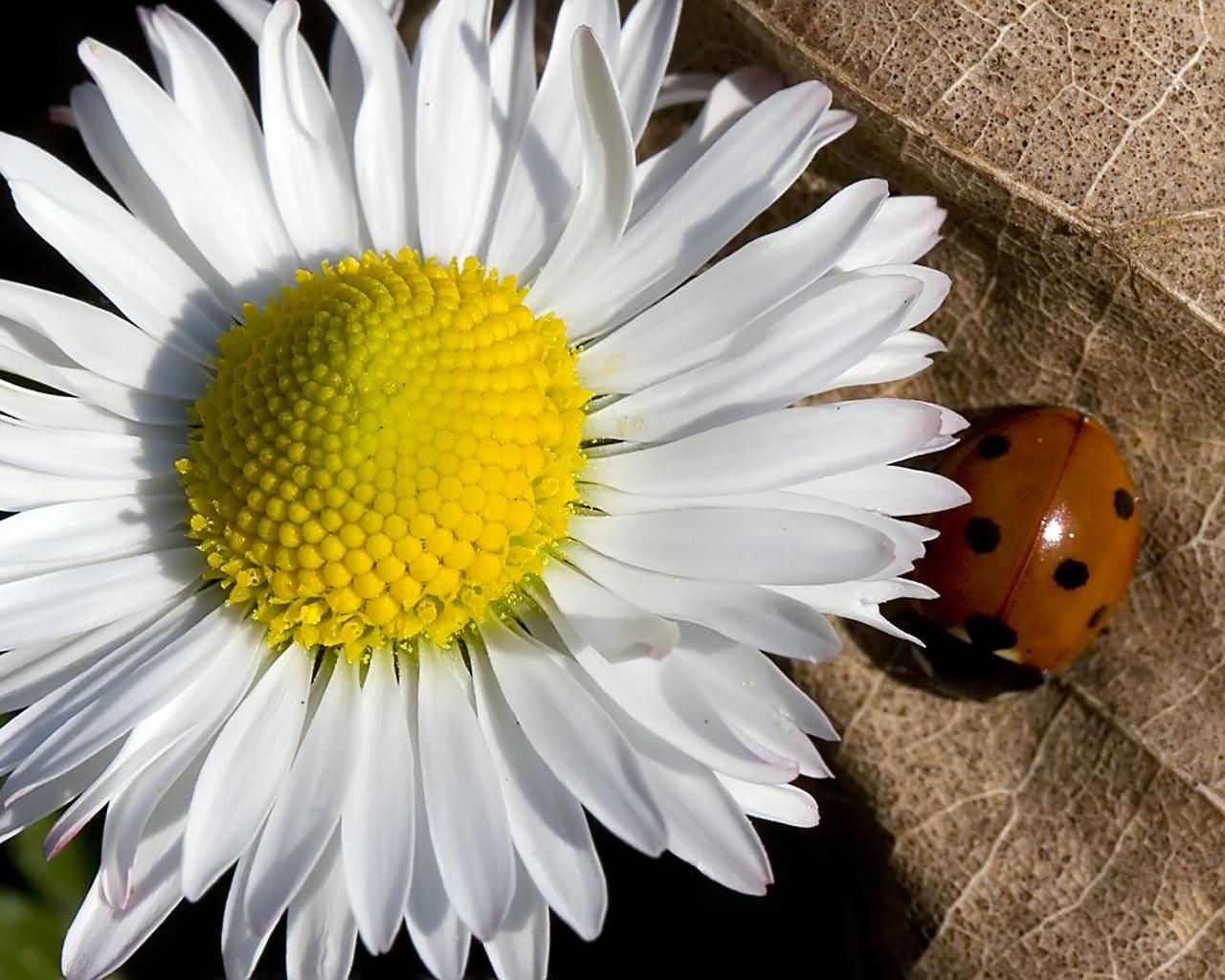 My Background Blog: daisy wallpaper