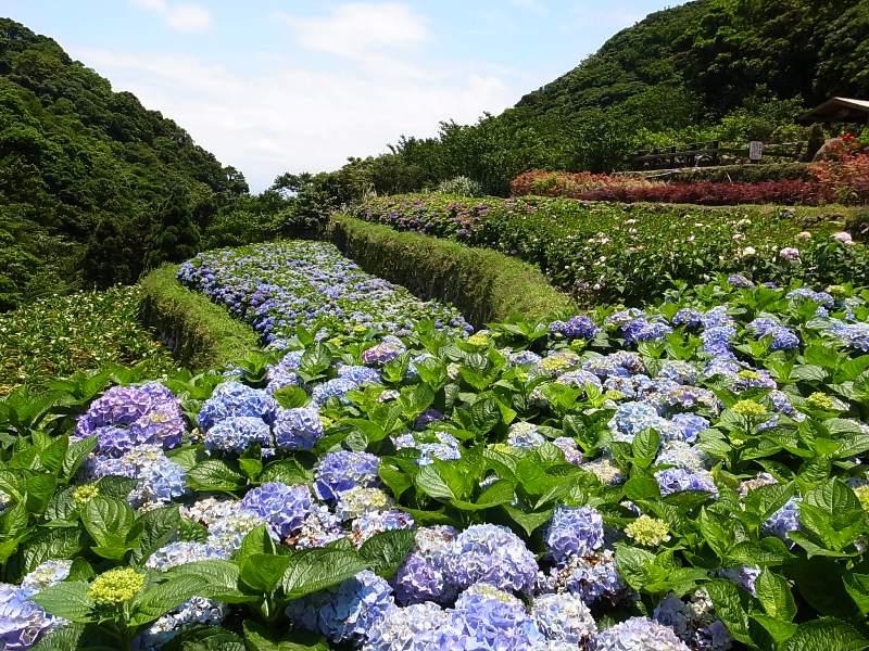 [心得]竹子湖繡球花季2014 | Citytalk城市通