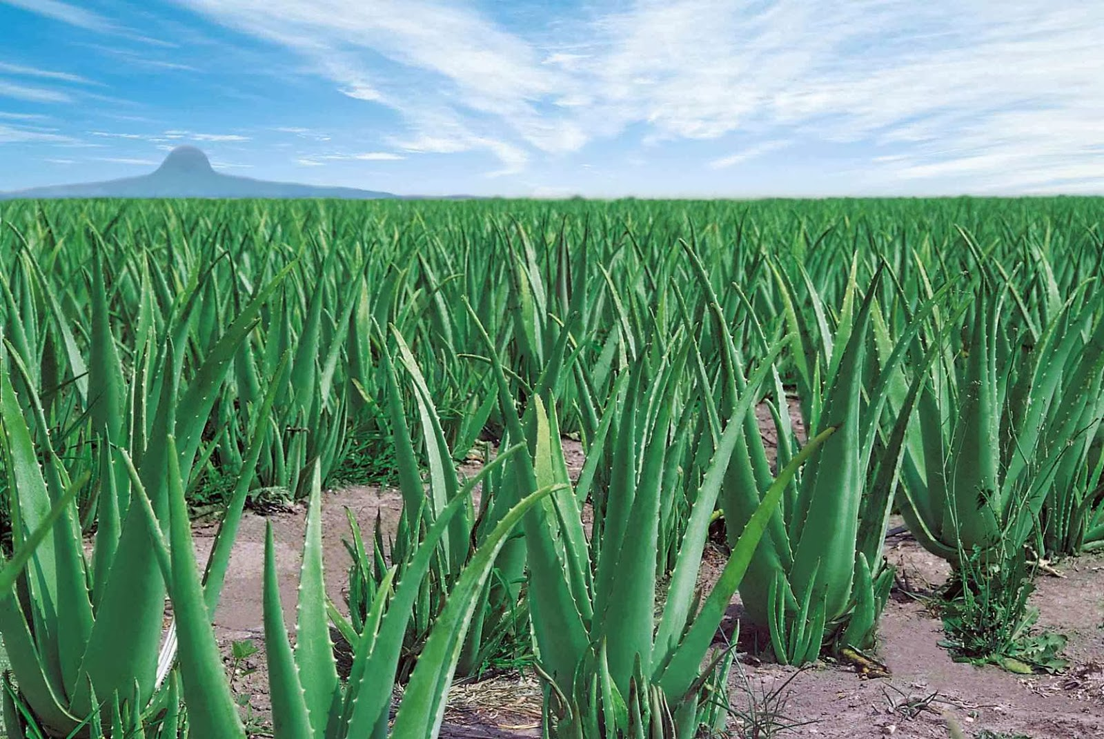Aleo Vera How To Grow Aloe Vera The Garden Of Eaden
